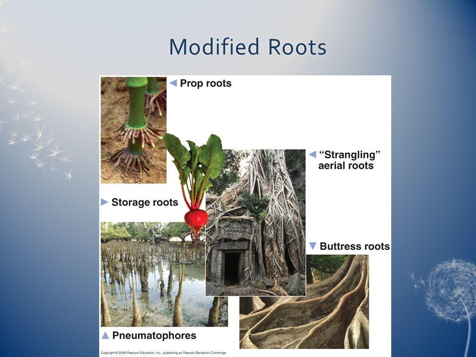 plant anatomy lab bio ppt video online download