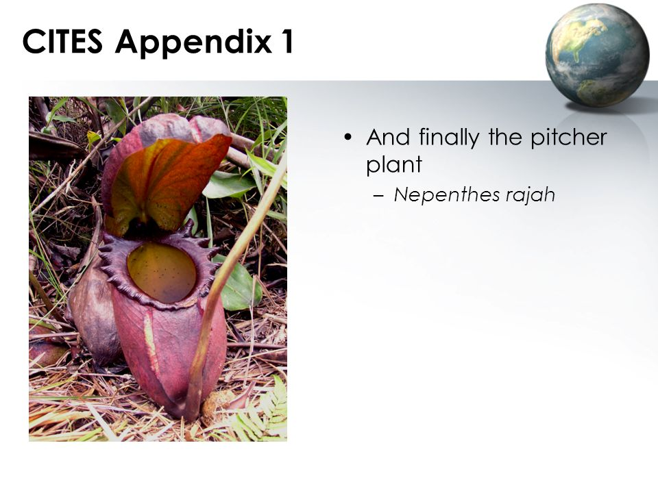 CITES Appendix 1 And finally the pitcher plant Nepenthes rajah