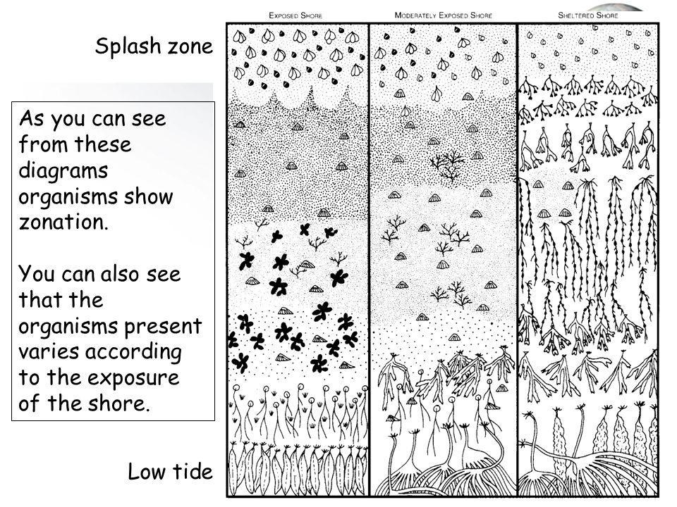 Splash zone As you can see from these diagrams organisms show zonation.