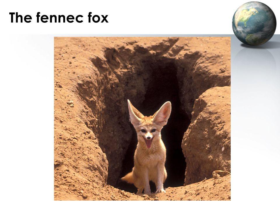The fennec fox