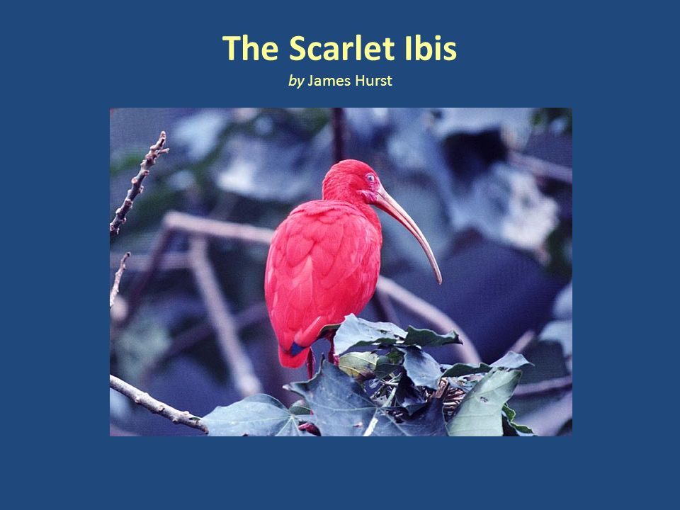 a review of james hursts the scarlet ibis The scarlet ibis, a tale of two brothers, is a short story by james hurst, in which the narrator recounts the memories of his late brother 'doodle' the story draws comparison between doodle and a scarlet ibis that one day winds up at their home.