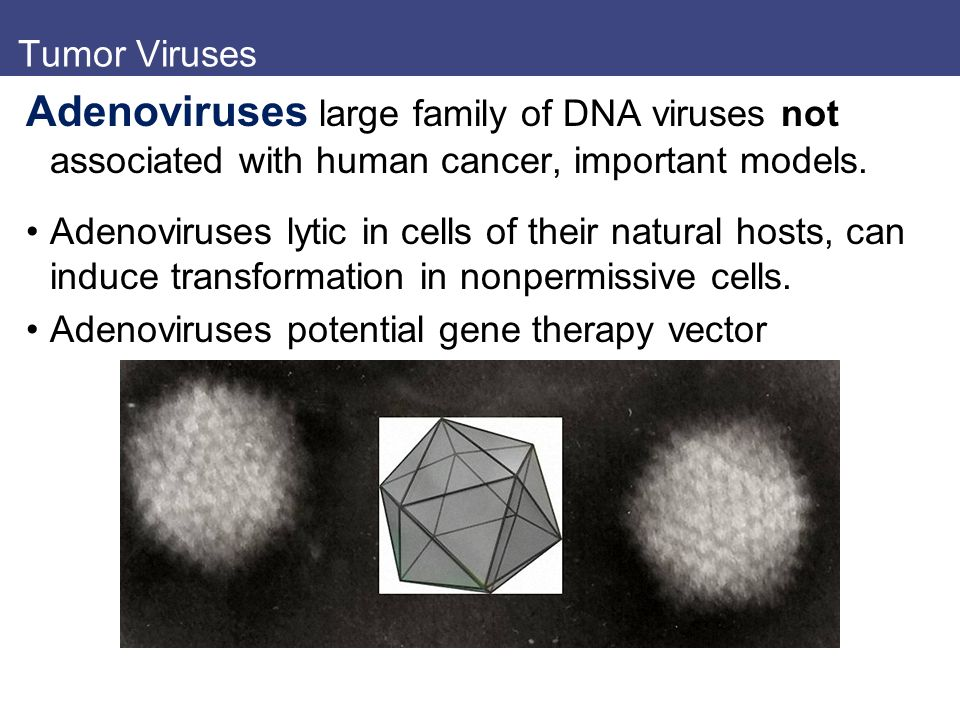 Tumor Viruses Adenoviruses large family of DNA viruses not associated with human cancer, important models.