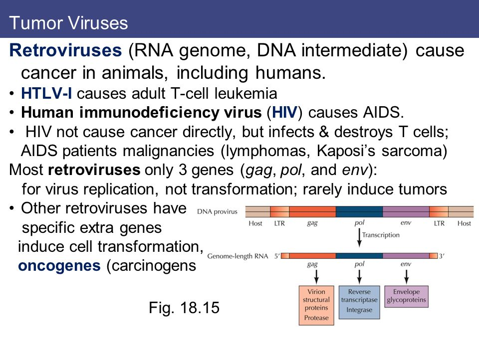 Tumor Viruses Retroviruses (RNA genome, DNA intermediate) cause cancer in animals, including humans.