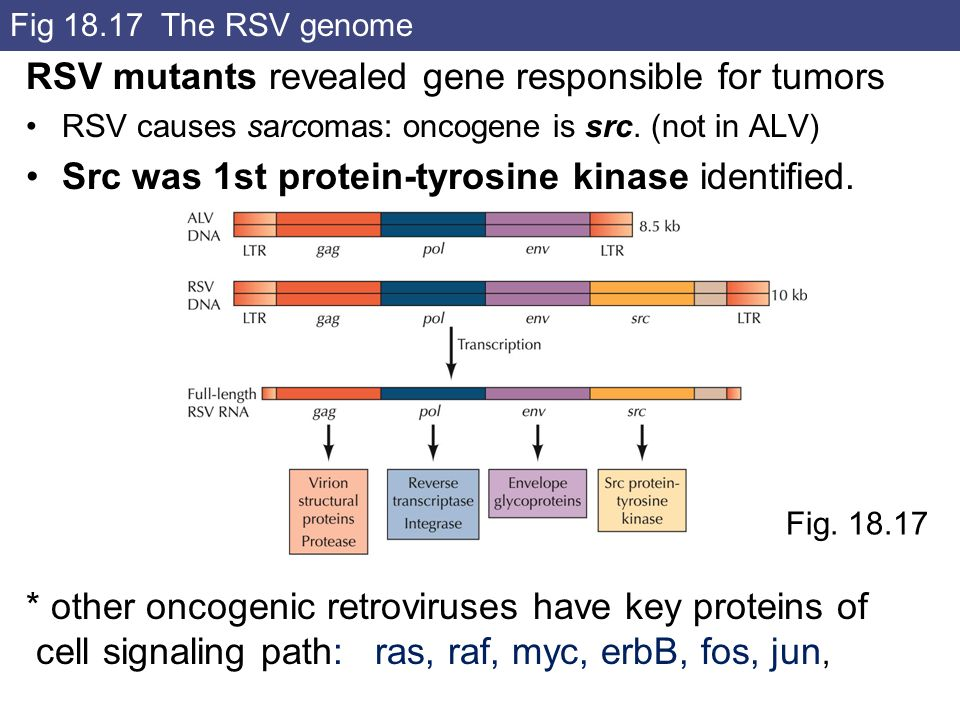 RSV mutants revealed gene responsible for tumors