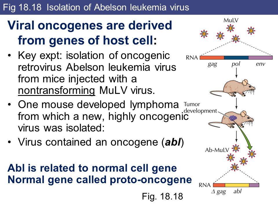 Fig Isolation of Abelson leukemia virus