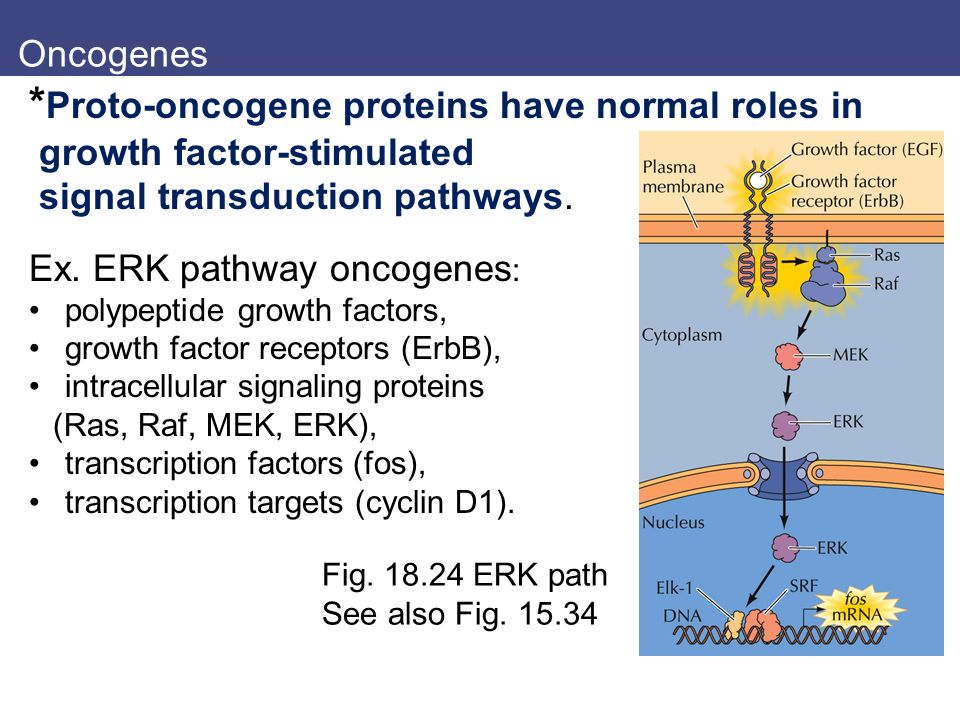*Proto-oncogene proteins have normal roles in