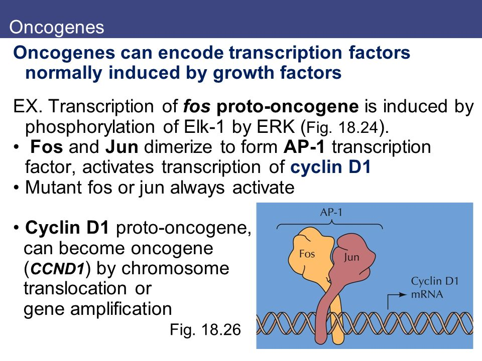 Mutant fos or jun always activate Cyclin D1 proto-oncogene,