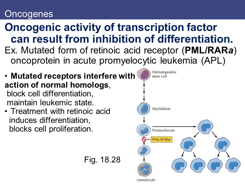 Oncogenes Oncogenic activity of transcription factor can result from inhibition of differentiation.