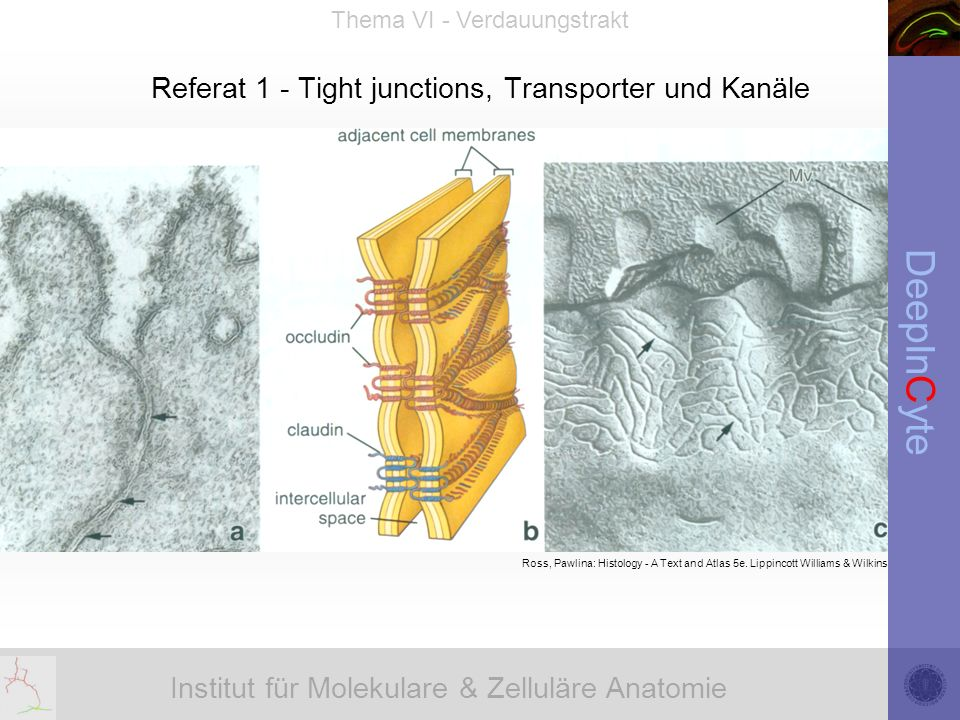 Referat 1 - Tight junctions, Transporter und Kanäle