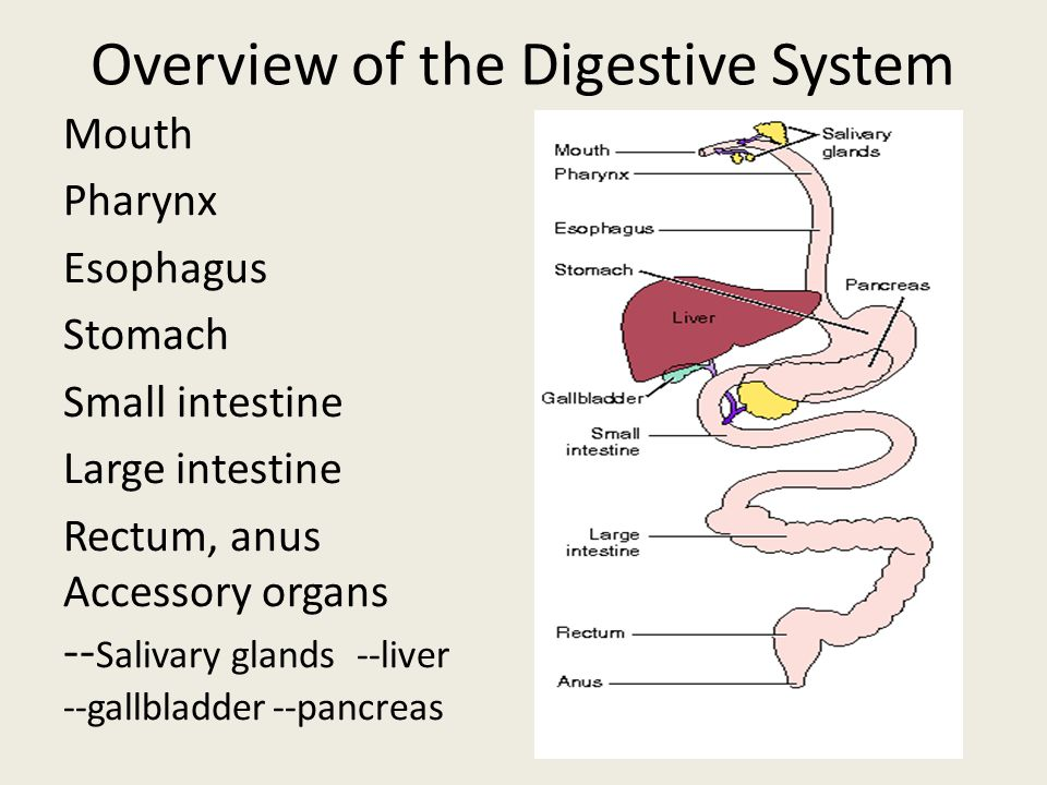 an overview of the human digestive system and how it works This article is a brief snapshot of human digestive enzymes, enzyme reactions and how they work an enzyme works by binding to a specific substrate.