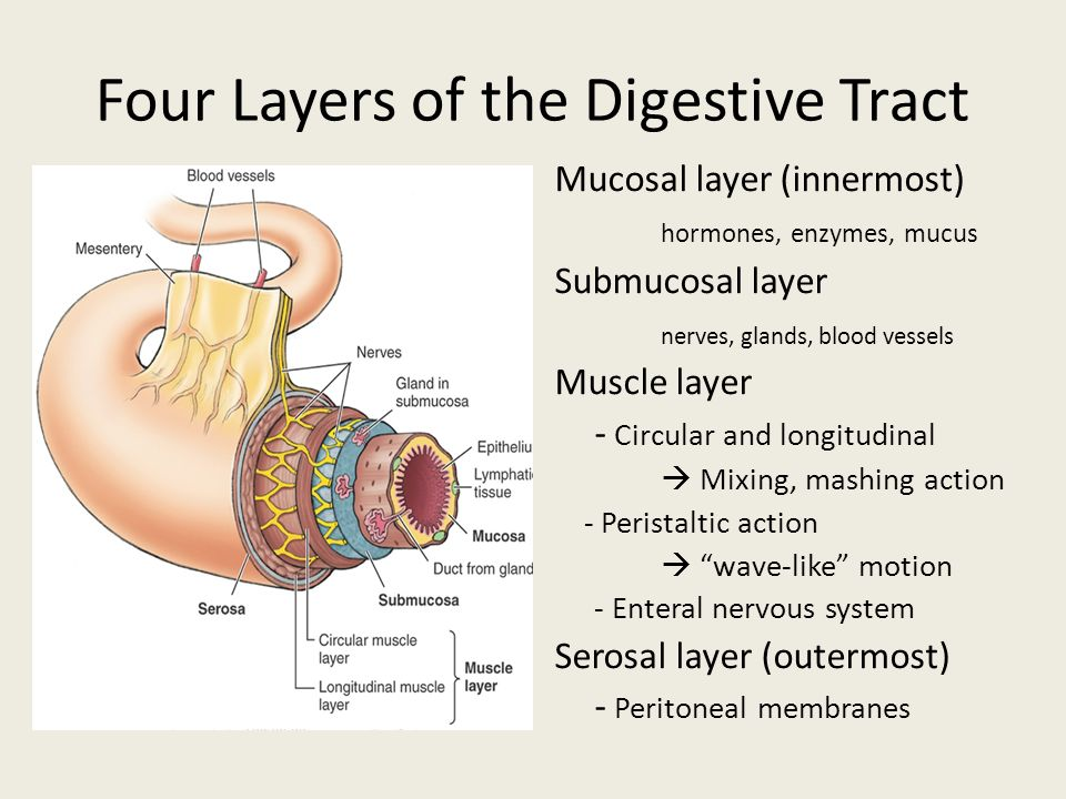 Digestive System. - ppt download