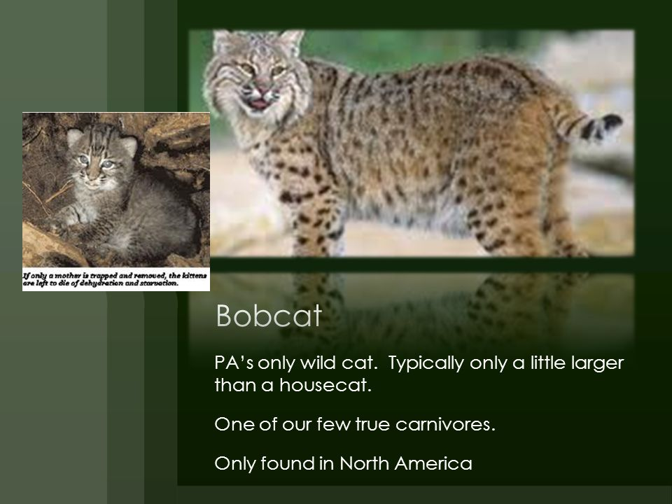 Bobcat PA's only wild cat. Typically only a little larger than a housecat. One of our few true carnivores.