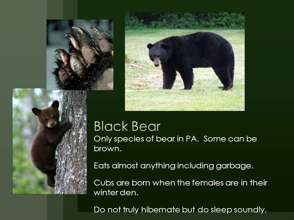 Black Bear Only species of bear in PA. Some can be brown.