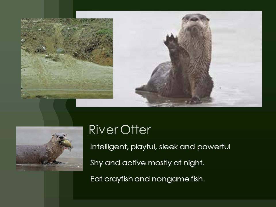 River Otter Intelligent, playful, sleek and powerful