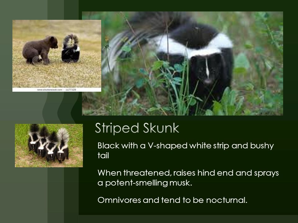Striped Skunk Black with a V-shaped white strip and bushy tail