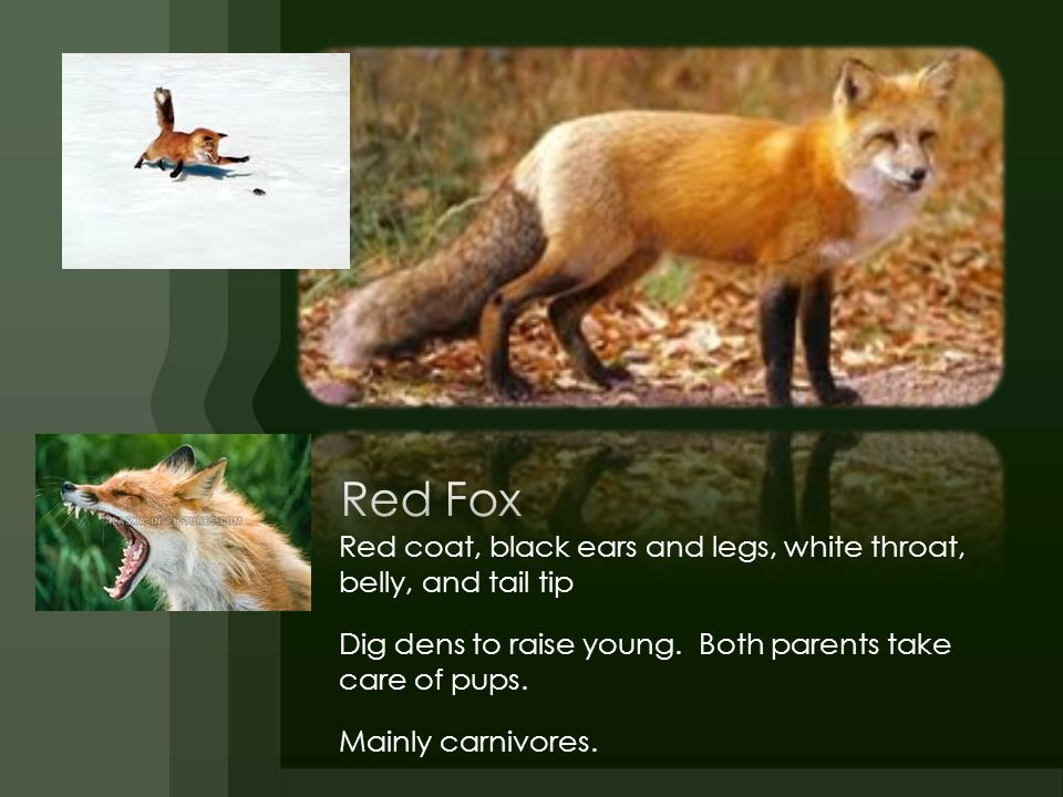 Red Fox Red coat, black ears and legs, white throat, belly, and tail tip. Dig dens to raise young. Both parents take care of pups.