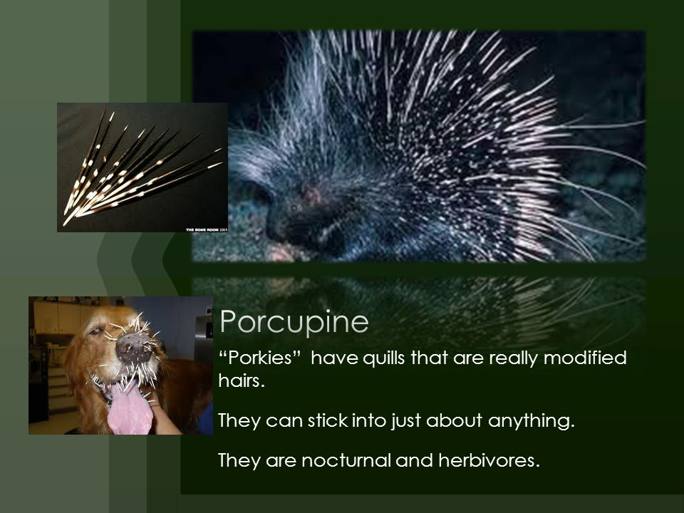 Porcupine Porkies have quills that are really modified hairs.