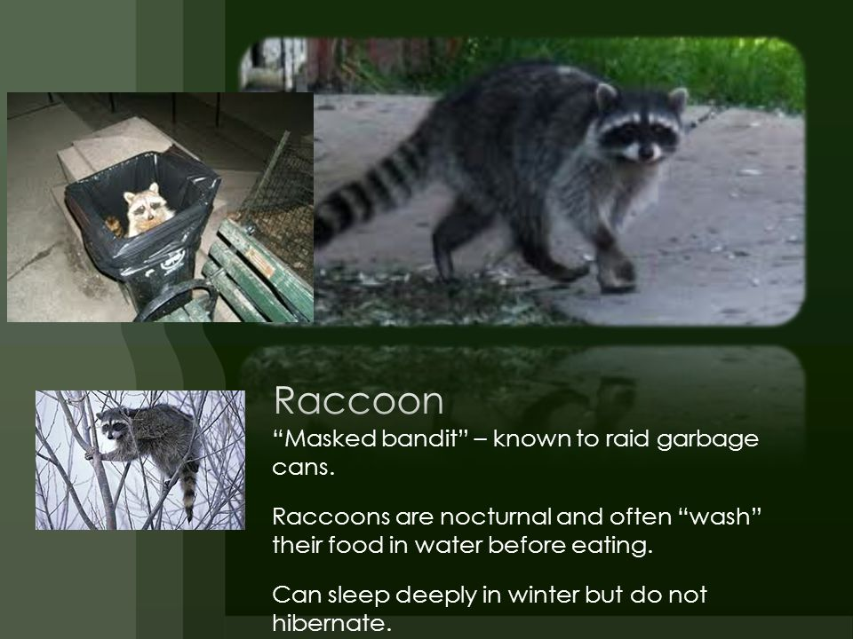 Raccoon Masked bandit – known to raid garbage cans.
