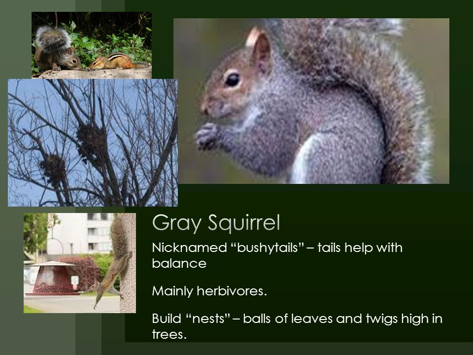 Gray Squirrel Nicknamed bushytails – tails help with balance