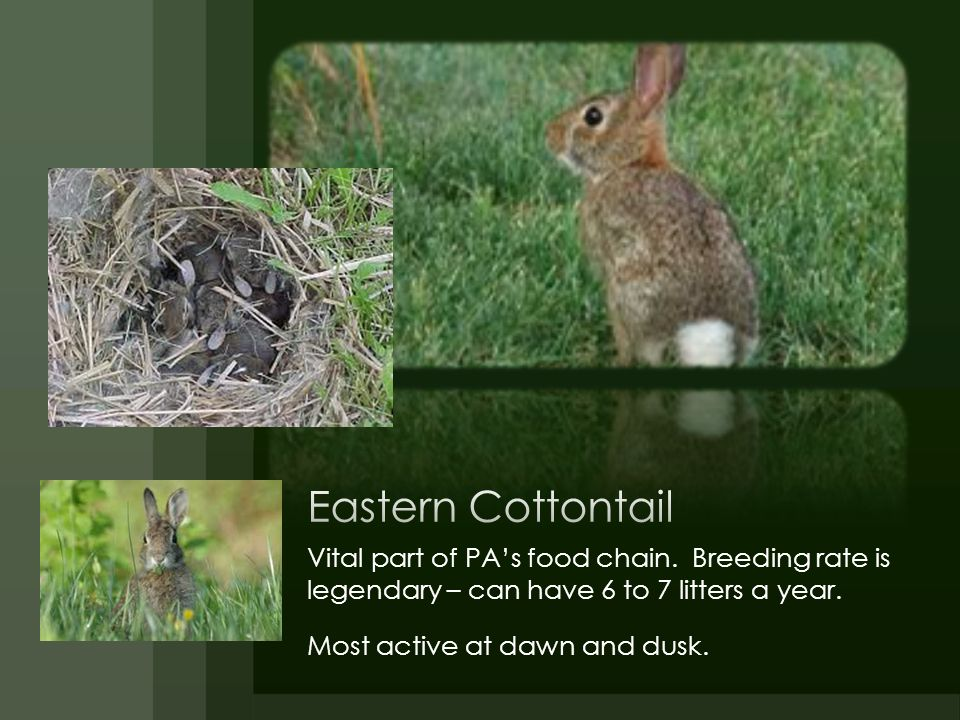 Eastern Cottontail Vital part of PA's food chain. Breeding rate is legendary – can have 6 to 7 litters a year.