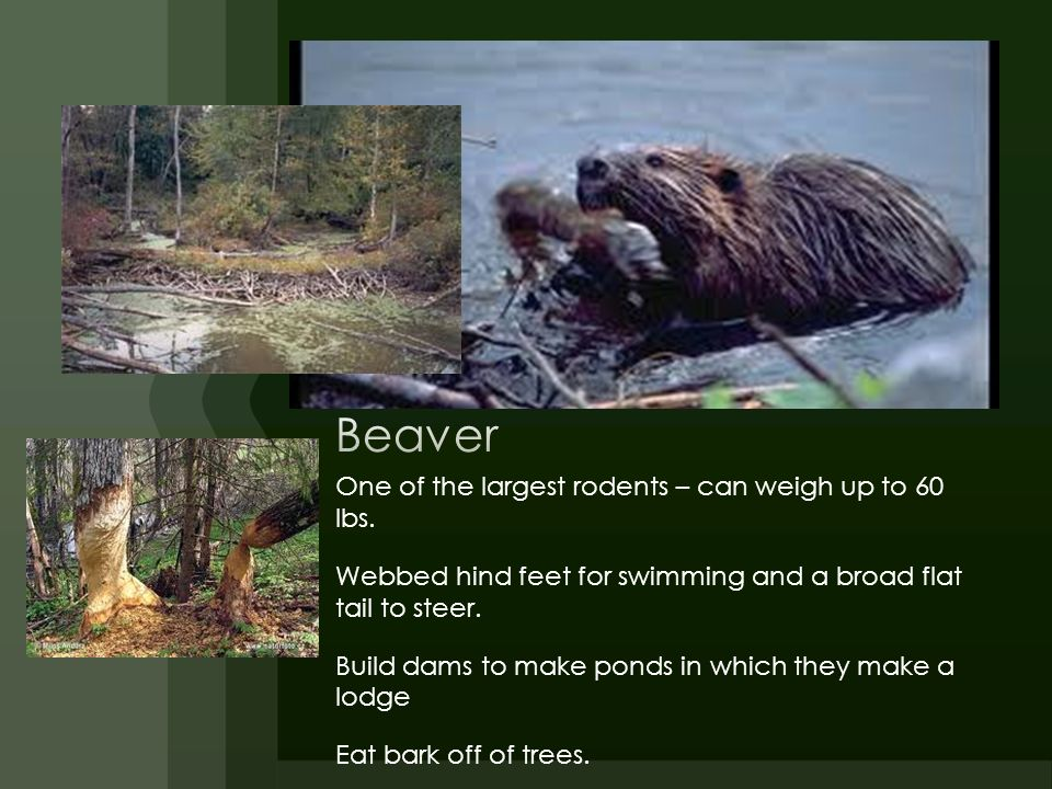 Beaver One of the largest rodents – can weigh up to 60 lbs.
