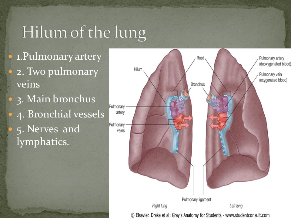 Lung anatomy video