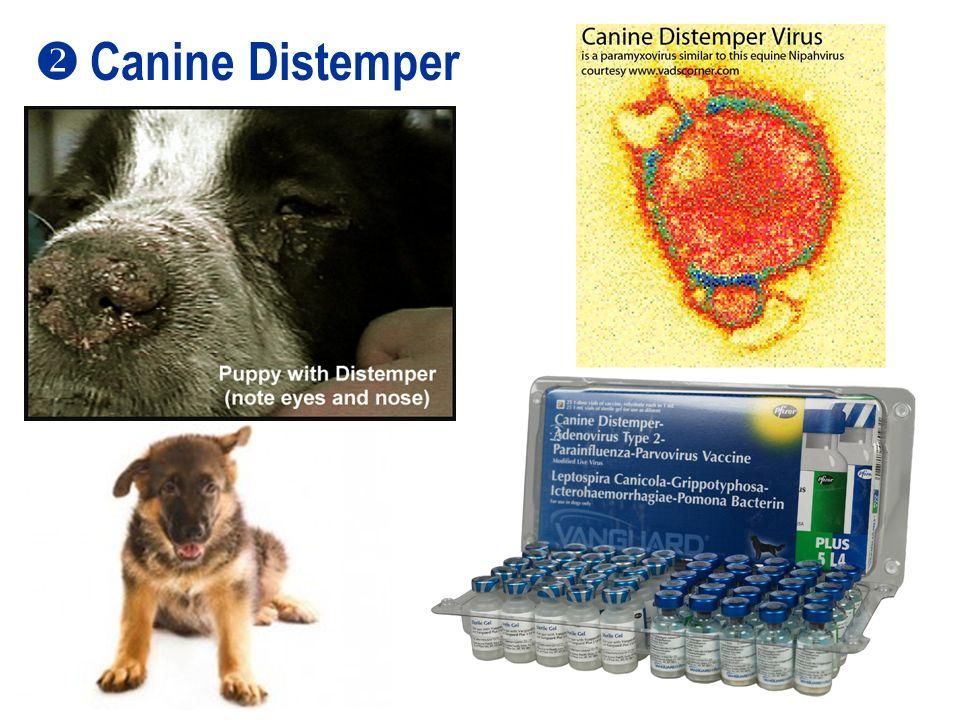 79 Canine Distemper