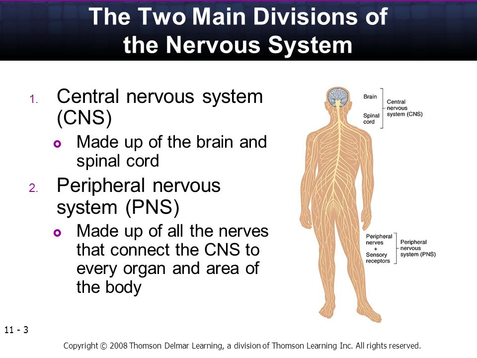 the dissection of an adult bullfrogs central nervous system cns Molecular dissection of reactive astrogliosis and glial scar cells that tile the entire central nervous system central roles in normal cns function and that.