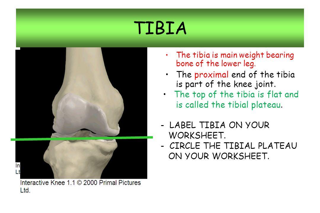 Nice Interactive Knee Anatomy Frieze - Human Anatomy Images ...
