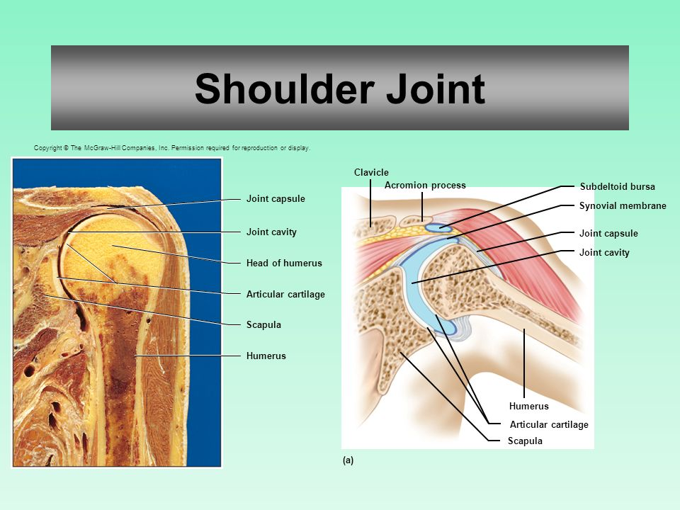 Joints of the Skeletal System - ppt download