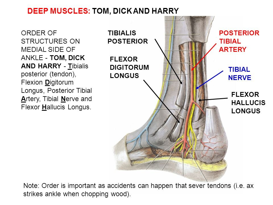Pictures Of Tibial Nerve Ankle Kidskunstfo