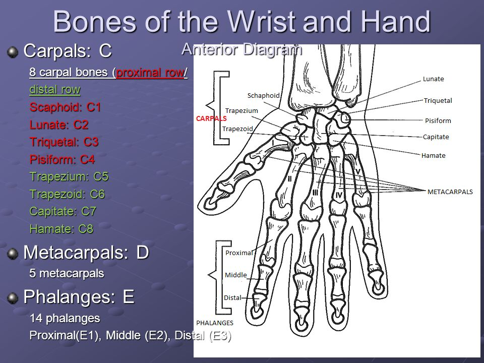 Wrist anatomy diagram