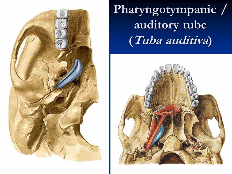 Auditory And Vestibular System Ppt Video Online Download