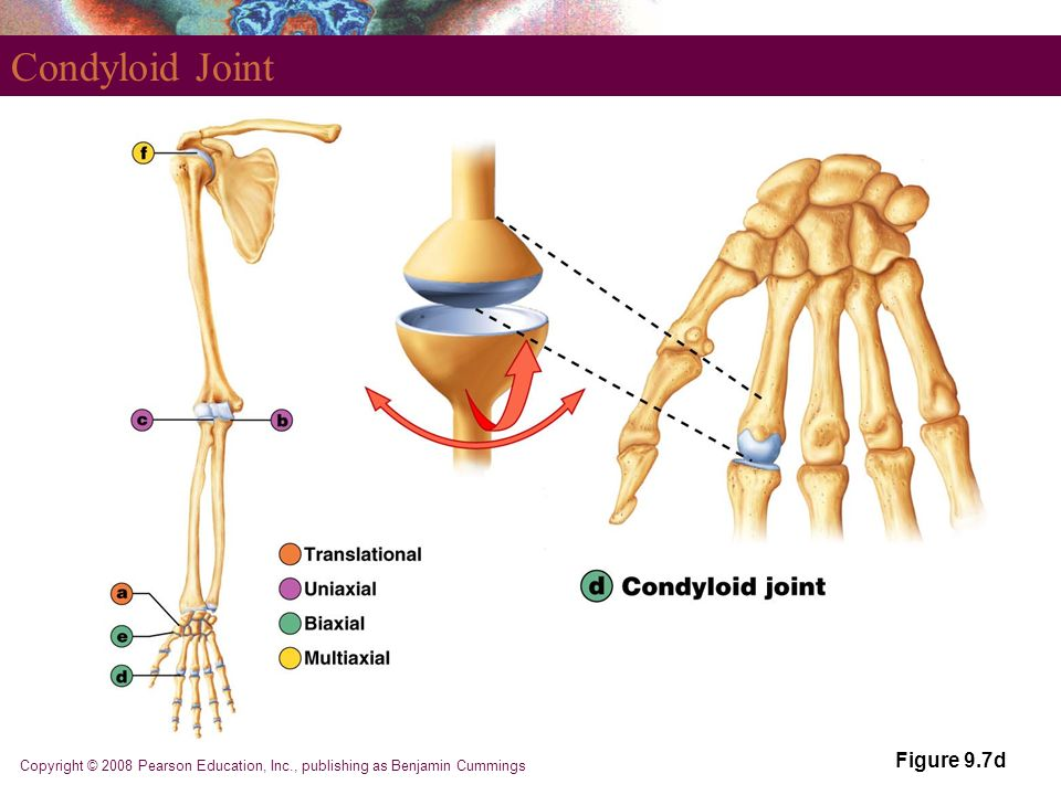 part 1 joints. - ppt download, Sphenoid