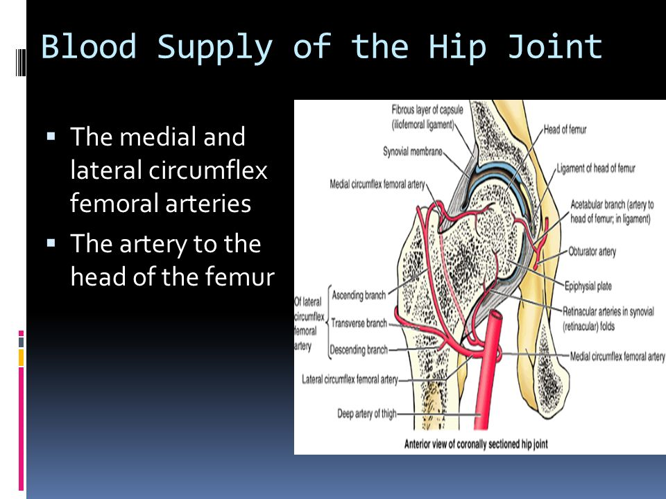 Medial Circumflex Femoral Artery Joints of the Lower Li...