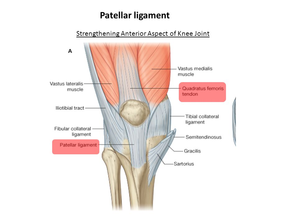 Knee Region Bones Joint Muscles Artery Nerves Ppt Video Online