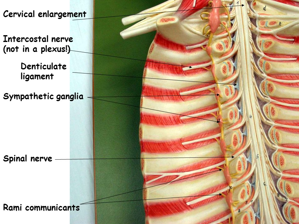 Cervical enlargement Intercostal nerve. (not in a plexus!) Denticulate ligament. Sympathetic ganglia.