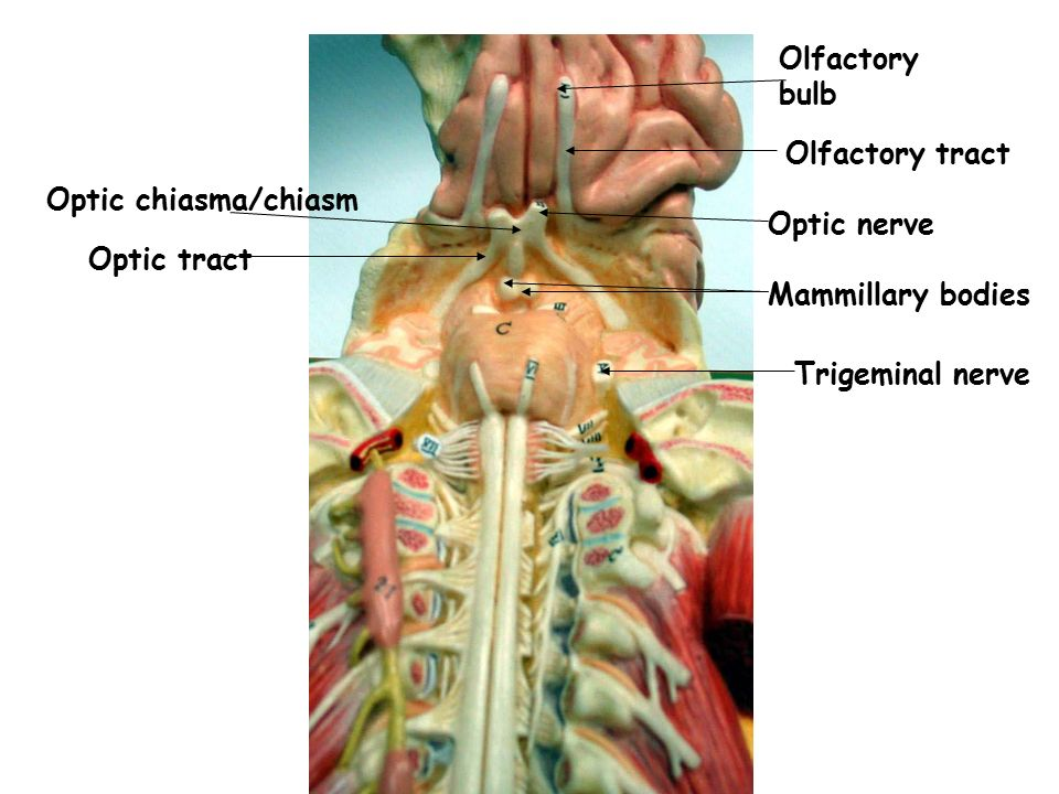 Olfactory bulb Olfactory tract. Optic chiasma/chiasm. Optic nerve. Optic tract. Mammillary bodies.
