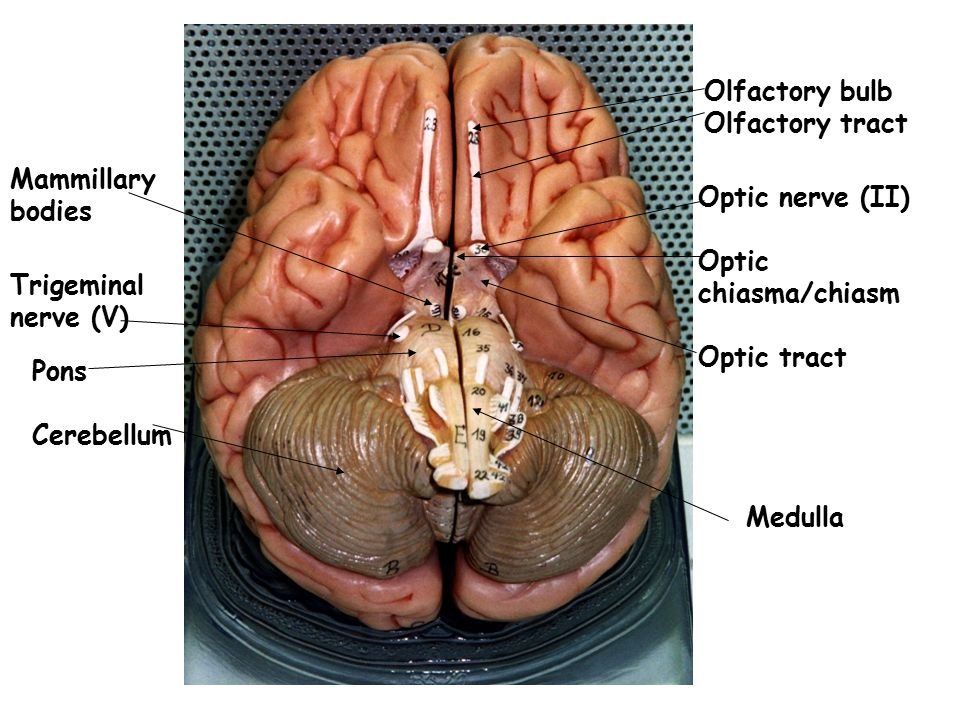 Olfactory bulb Olfactory tract. Mammillary. bodies. Optic nerve (II) Optic chiasma/chiasm. Optic tract.