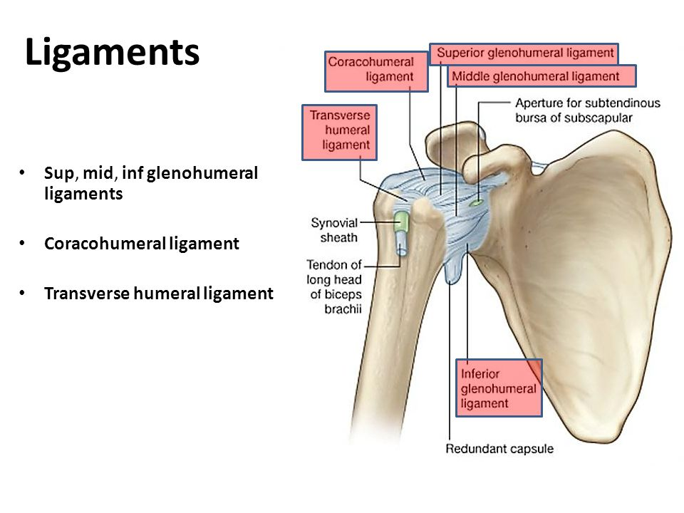 Perfect Shoulder Tendons And Ligaments Anatomy Ideas - Human Anatomy ...