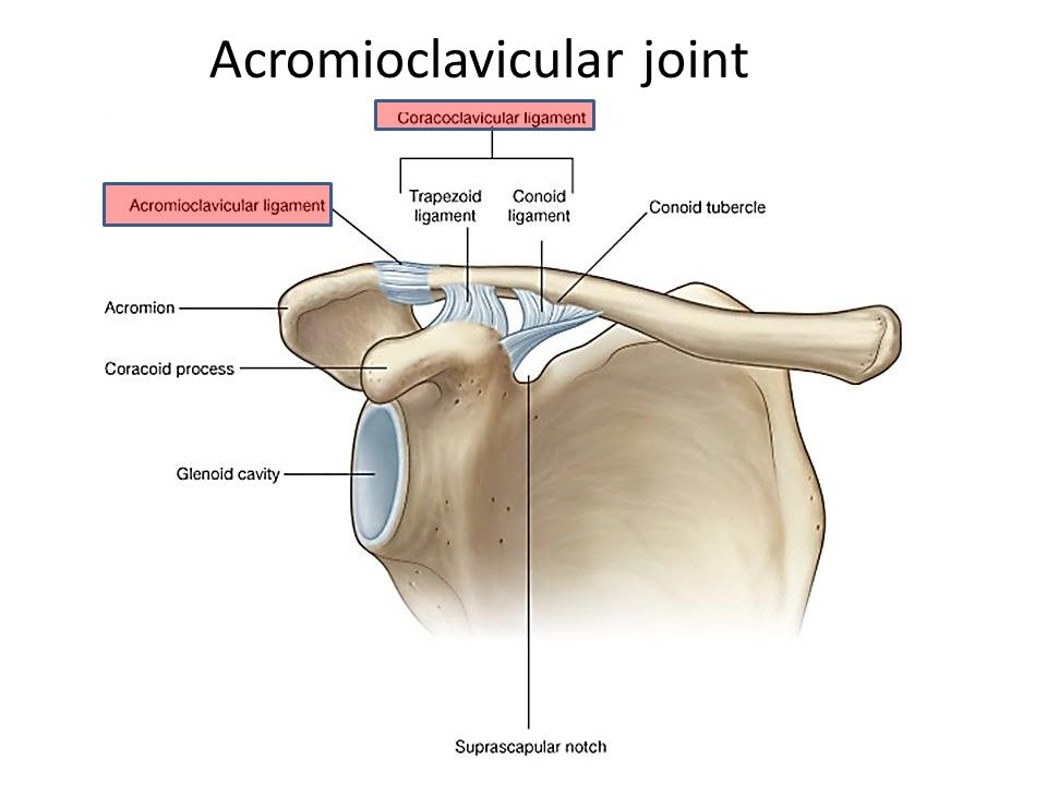 Outstanding Acromioclavicular Joint Anatomy Photos - Human Anatomy ...