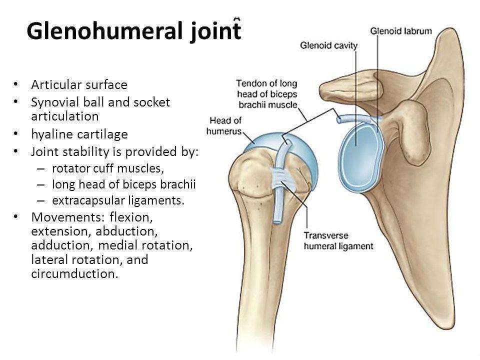 Glenohumeral joint capsule