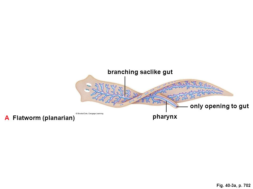 Digestion and nutrition ppt video online download a flatworm planarian pharynx ccuart Choice Image