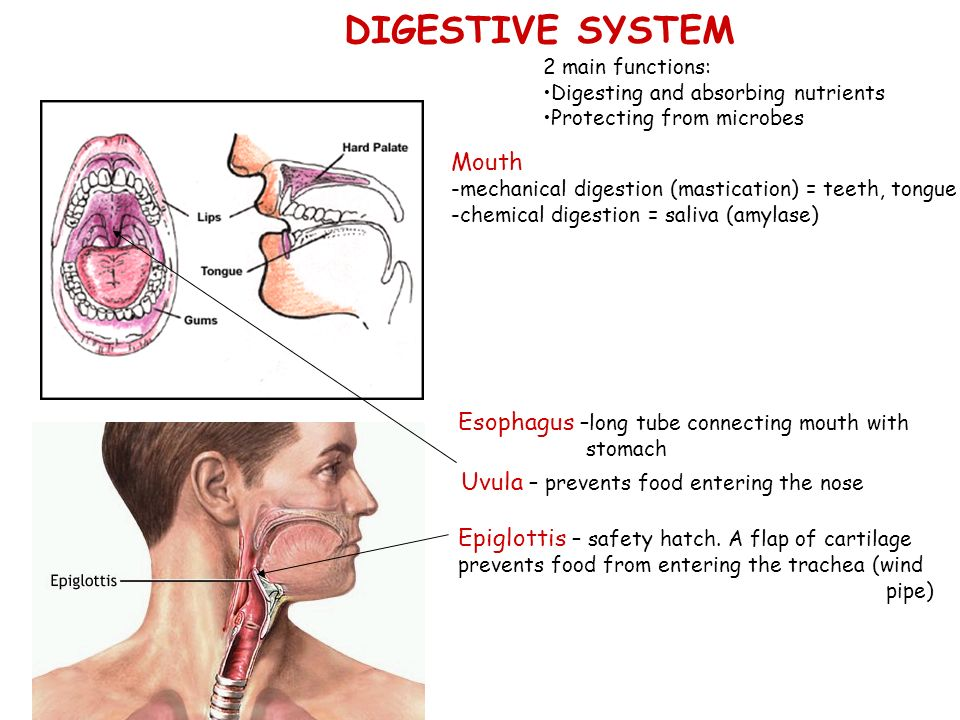 The Digestive System and Nutrition - ppt download