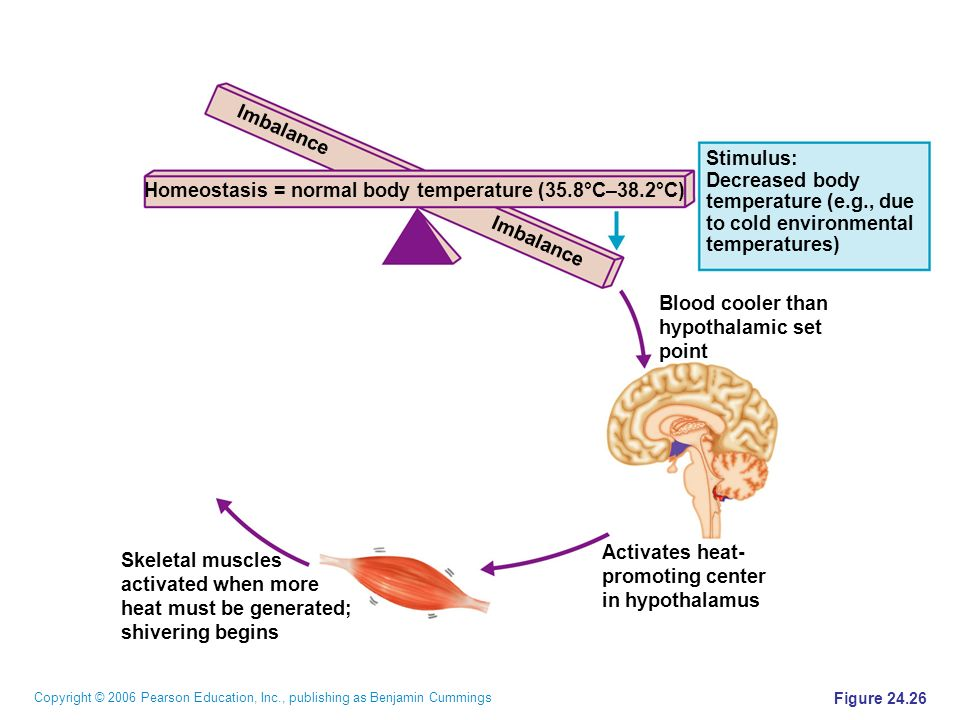 homeostasis body temperature Investigate body system response to heat stress click on a low temperature  response to cold stress hypothalamus - temperature control center.