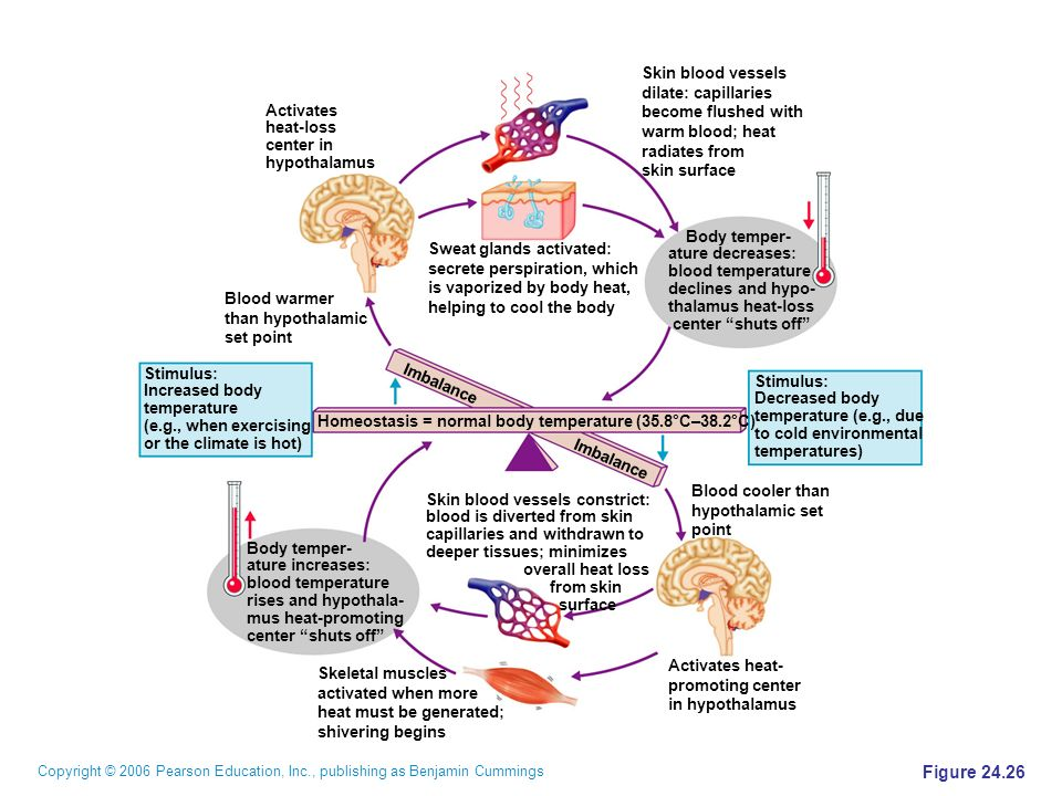 fainting and homeostasis The parasympathetic nervous system: rest and restoration, faint and freeze the pns consists of 4 cranial nerves originating in the brainstem, including the vagus (see figure 2-3), which is the principal nerve involved in effecting parasympathetic activity to most areas of the body (ganong, 2001.