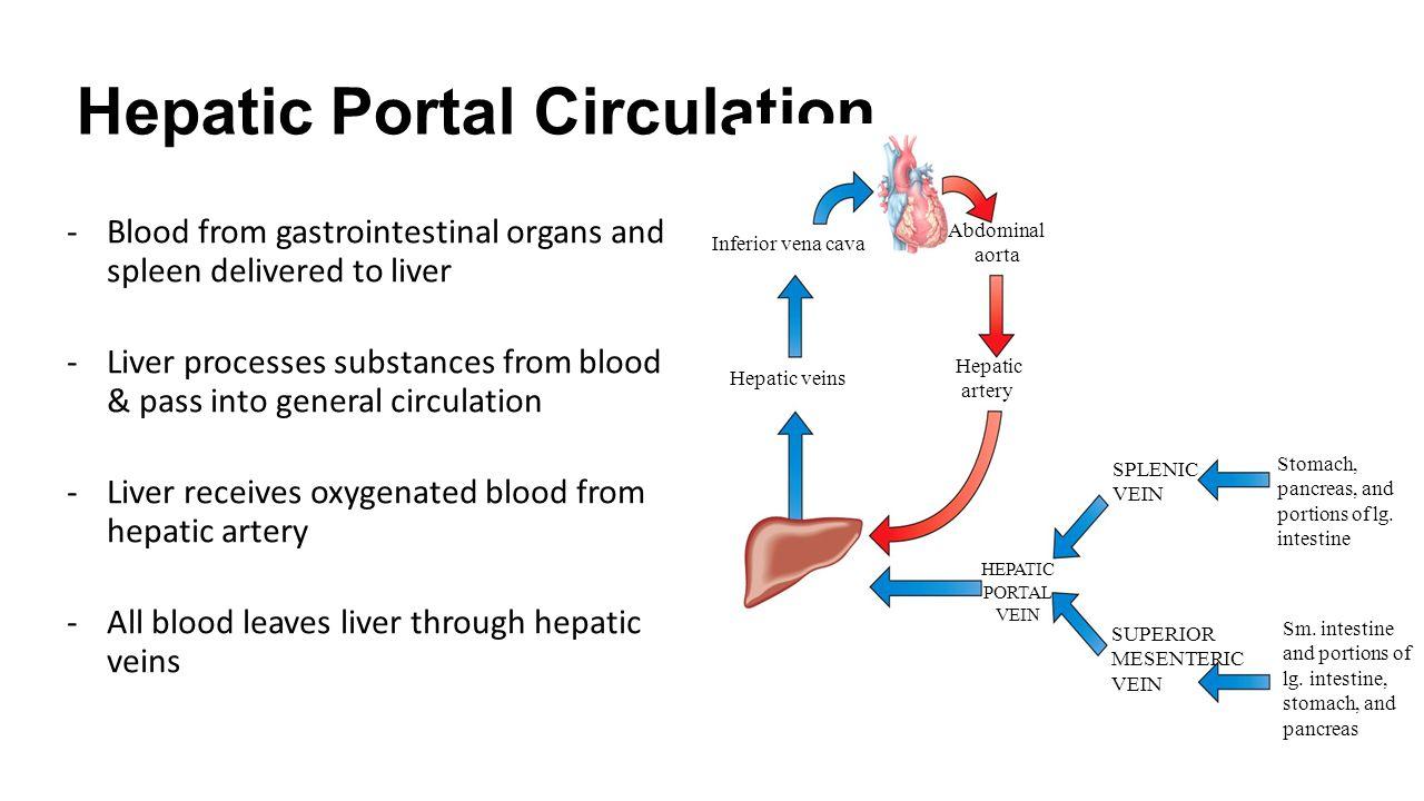 liver and spleen diagram liver blood flow diagram #8