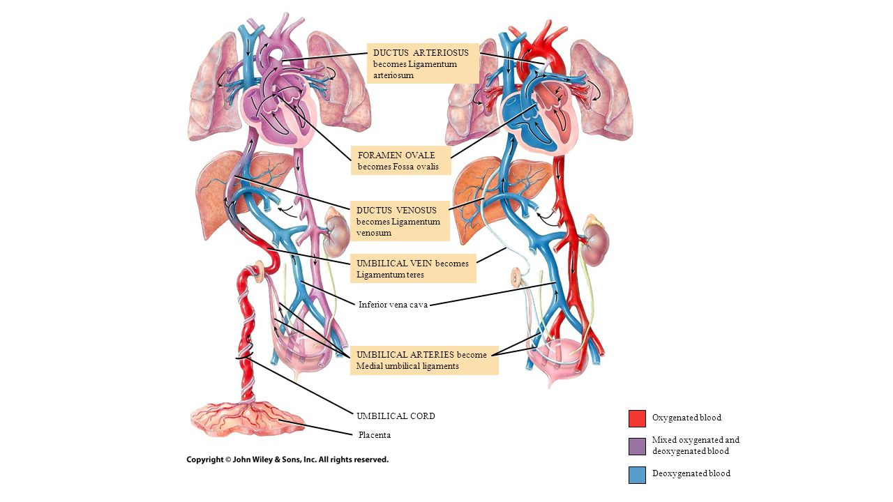 Ch 16.3: Circulatory Routes - ppt download