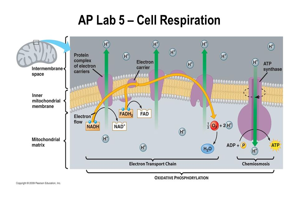 lab five cell respiration Lab five: cell respiration introduction: this experiment will measure cellular   cellular respiration is the release of energy by metabolic chemical oxidation.