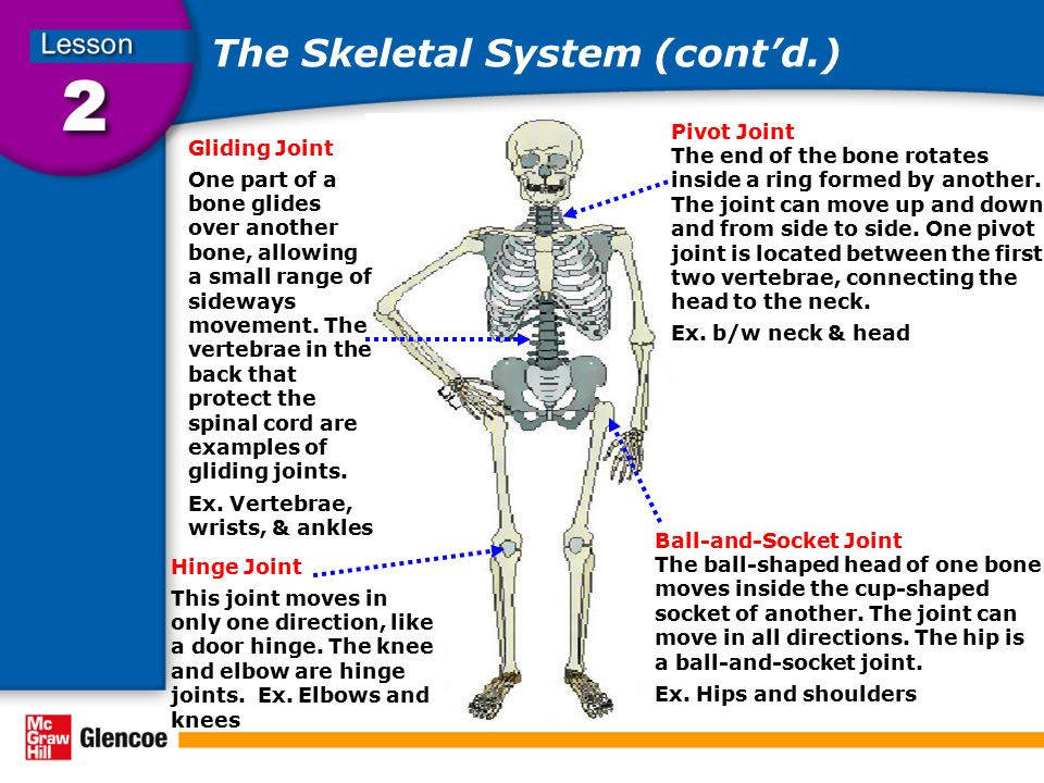 The Skeletal System (cont'd.)